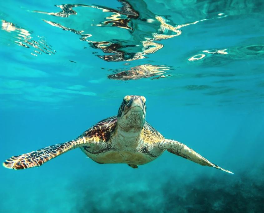 tartaruga marina ai Caraibi