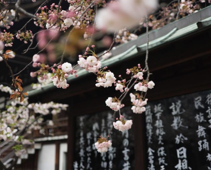 foto viaggio oriente fiori rosa