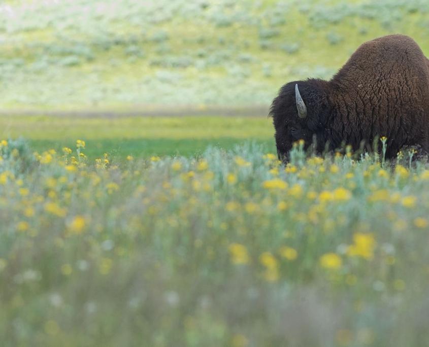 viaggio in America bisonte nella prateria