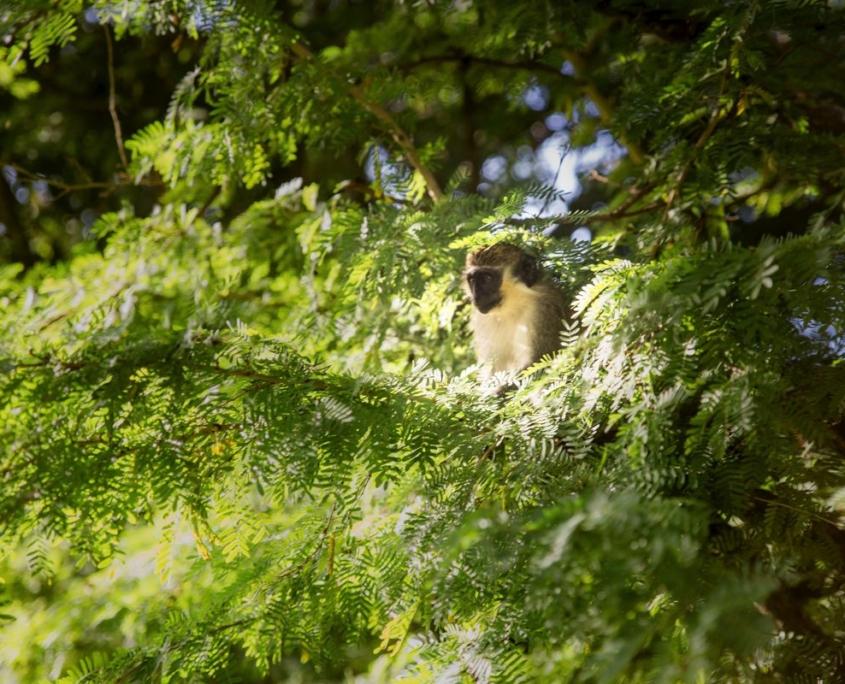 scimmia caraibica su albero