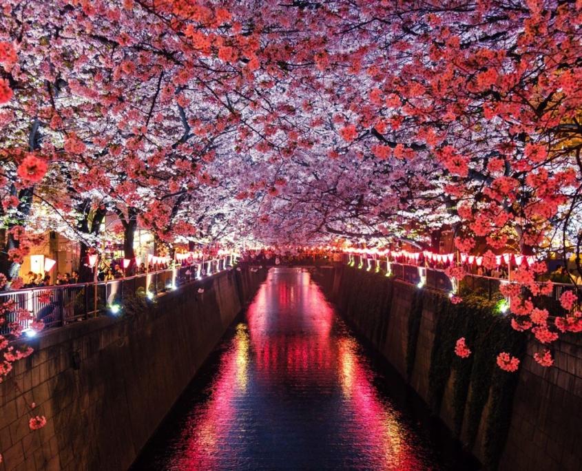 foto viaggio alberi fiori rosa su canale